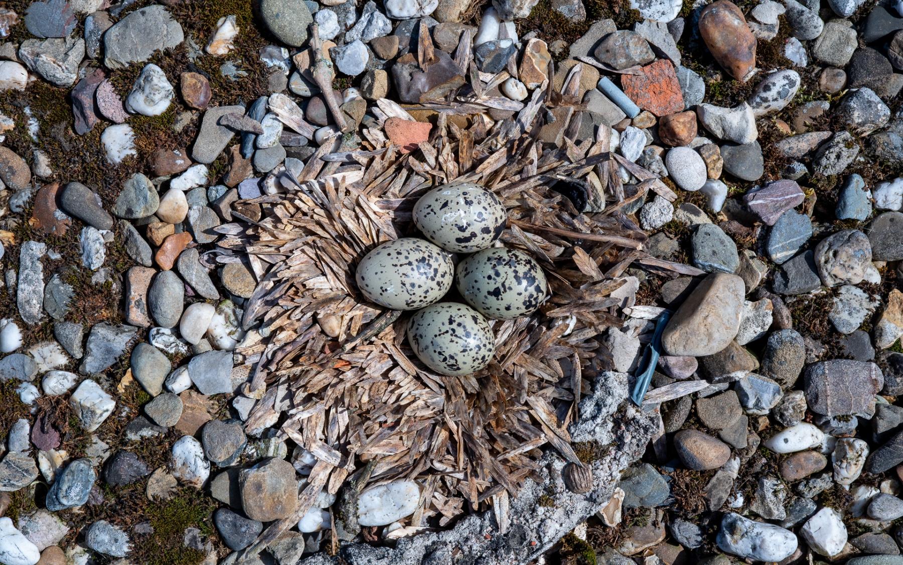 urban-oystercatchers-2