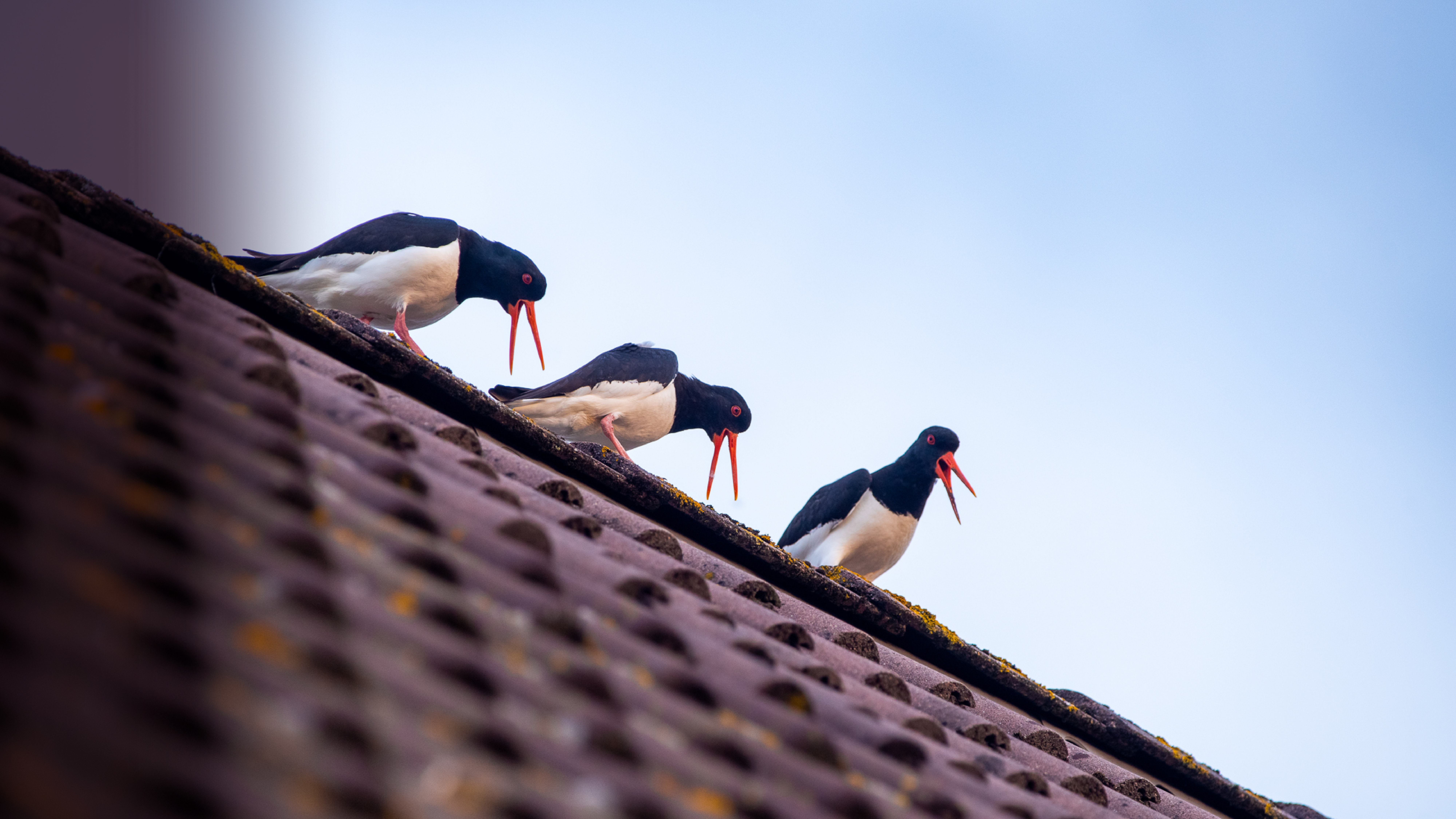 Urban Oystercatchers